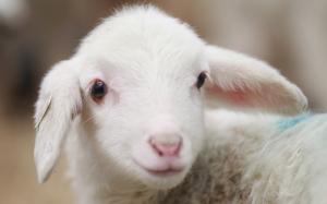 Tác dụng thực sự của nhau thai cừu khi chế biến thành viên