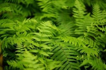 Tác dụng của cây dương xỉ là gì ?