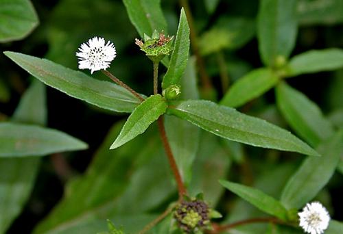 Công dụng của cây cỏ mực
