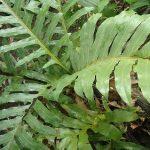 Chia sẻ về công dụng của cây ráng đối với sức khỏe con người