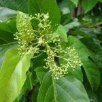 Tìm hiểu về công dụng của cây lá cách đối với sức khỏe